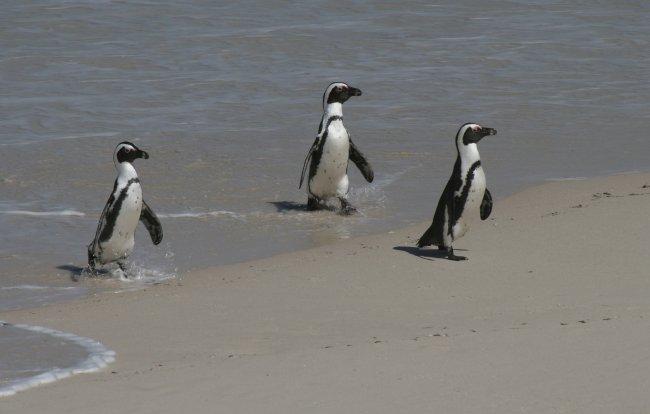 pingvinek_a_strandon.jpg