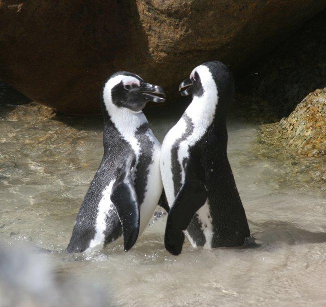 pingvinek_kakasok.jpg